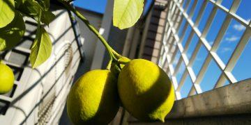 レモンの木②